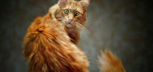 Паническая боязнь кошек